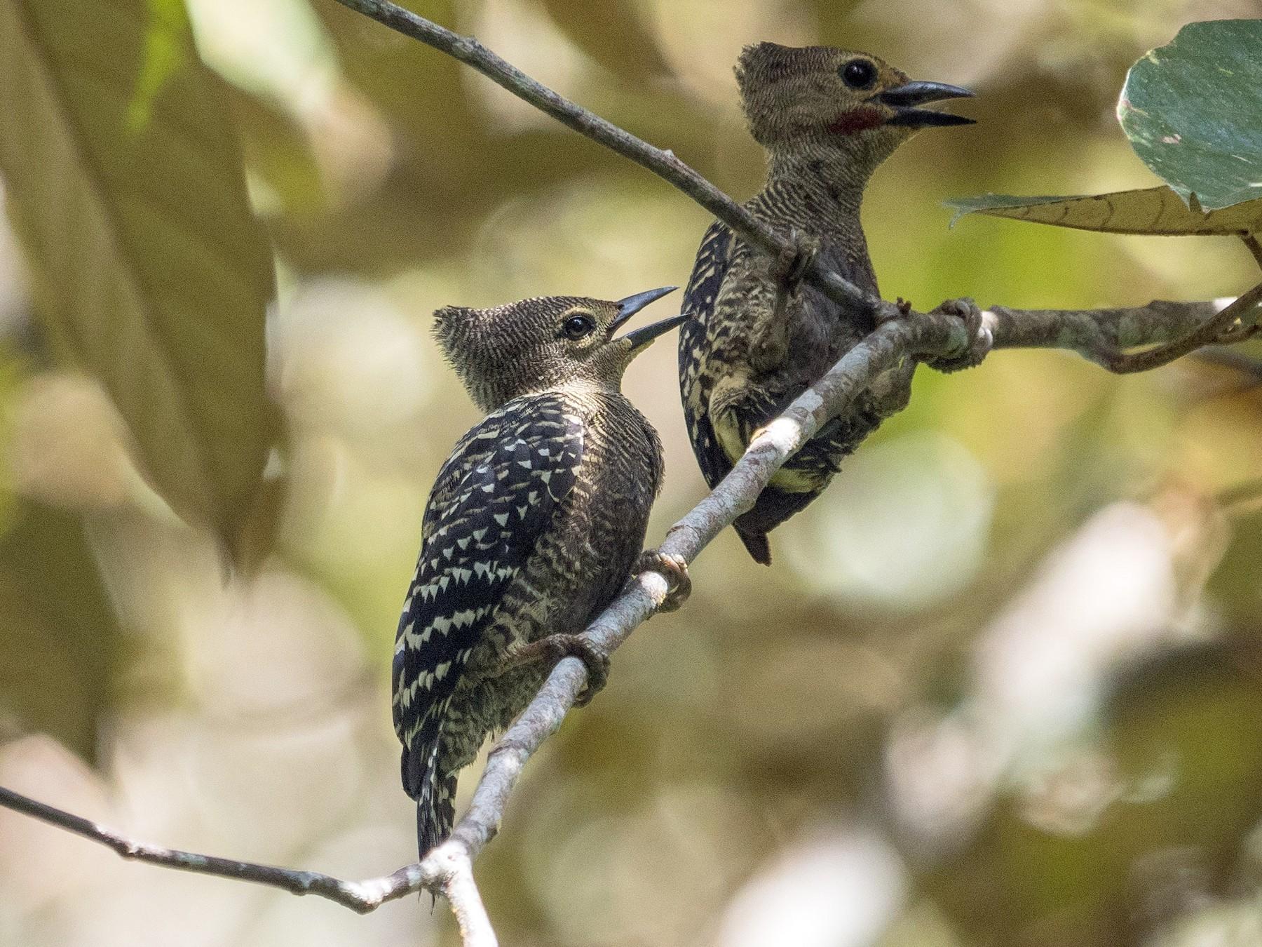 Buff-rumped Woodpecker - James Moore