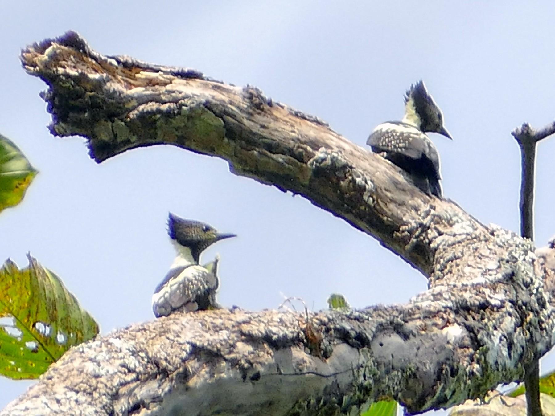 Black-and-buff Woodpecker - Randall Siebert