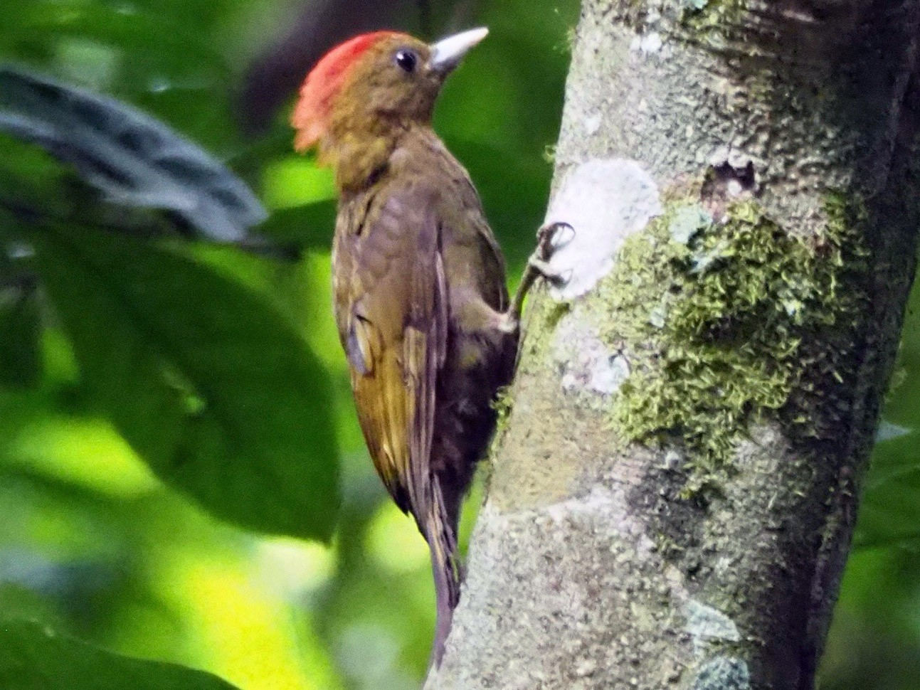 Bamboo Woodpecker - Kelly Siderio