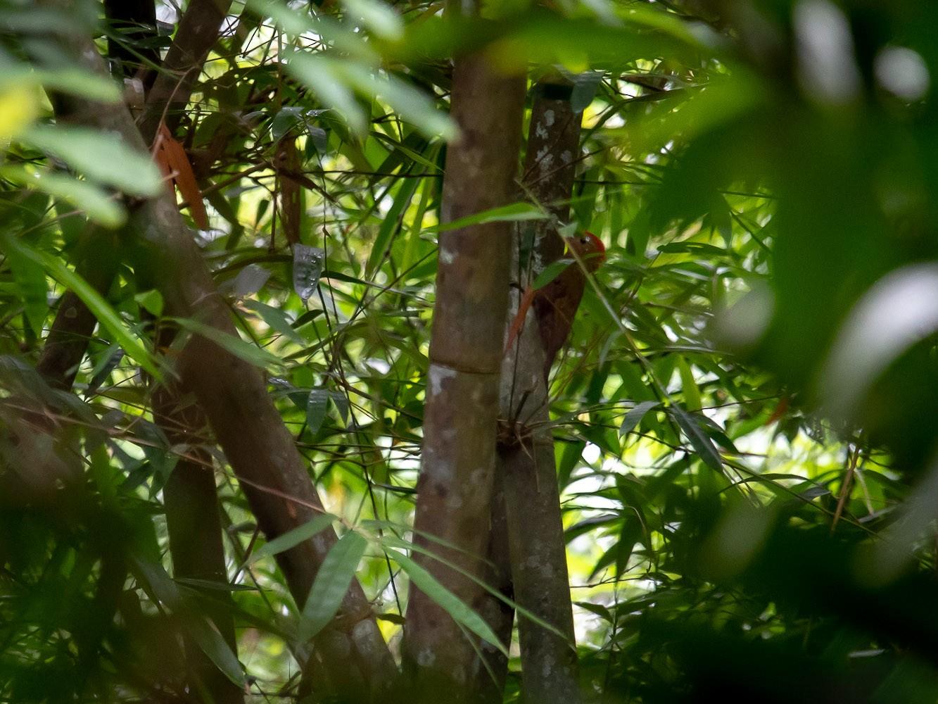 Bamboo Woodpecker - Pattaraporn Vangtal