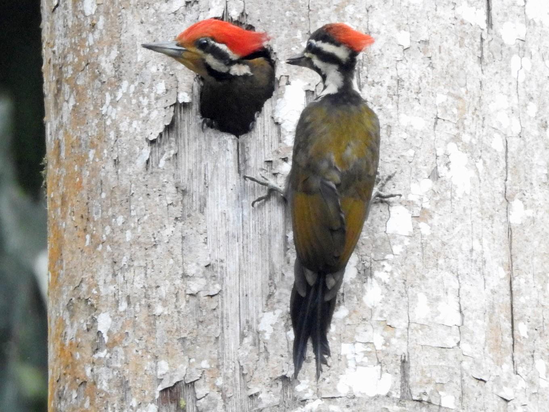 Olive-backed Woodpecker - Shafeeq Wilson