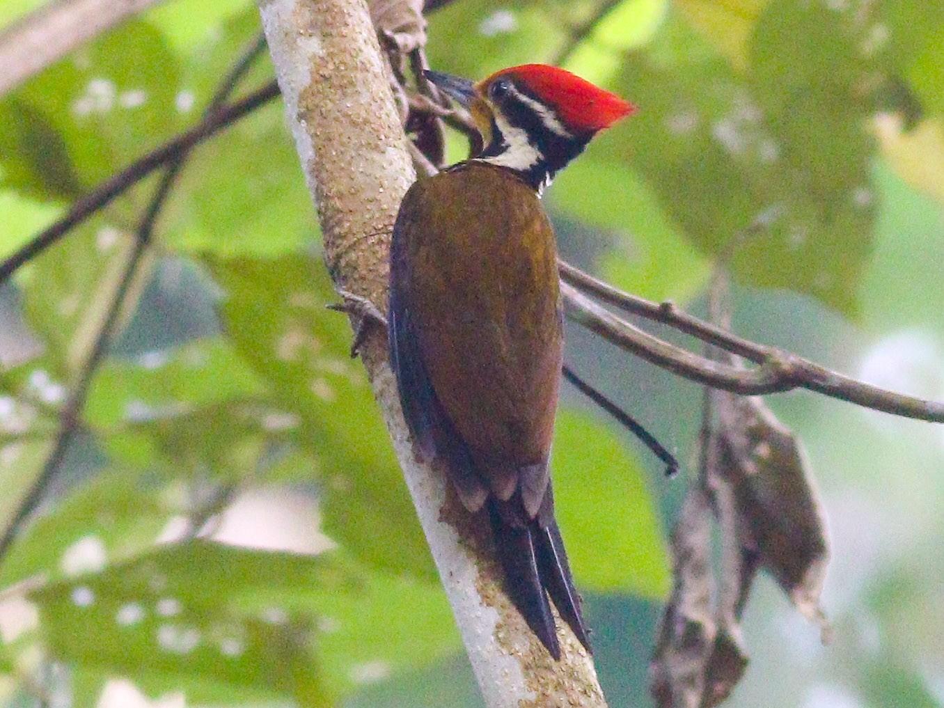 Olive-backed Woodpecker - Wilbur Goh Soon Kit