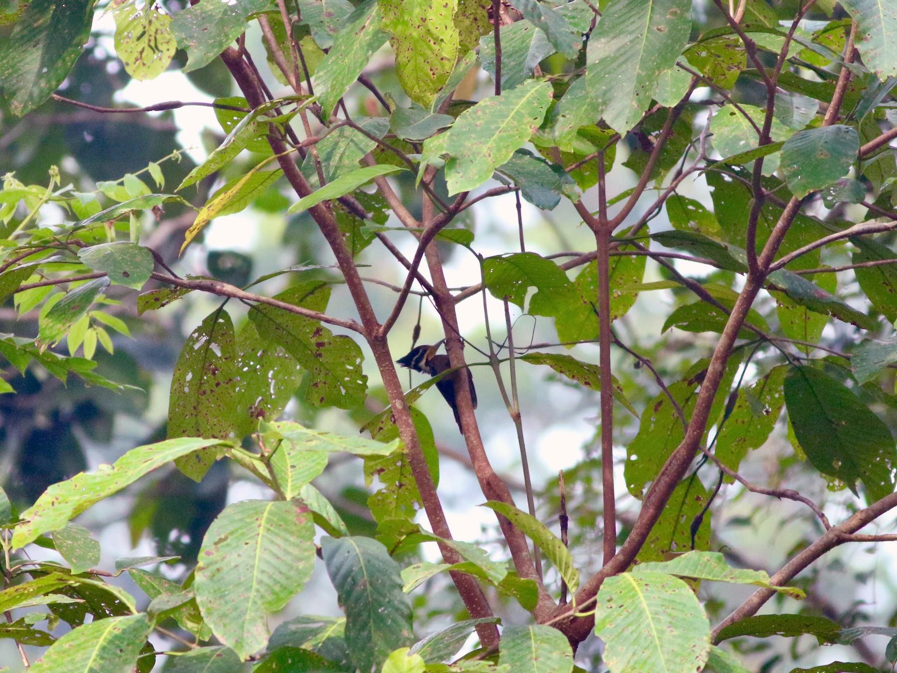 Olive-backed Woodpecker - Edward  Brinkley