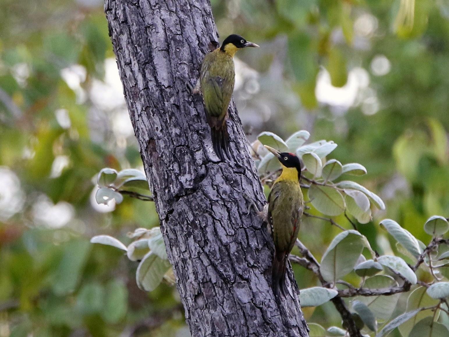 Black-headed Woodpecker - Olivier Langrand