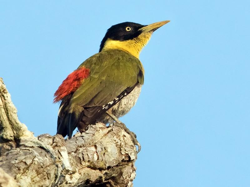 Black-headed Woodpecker - Lars Petersson