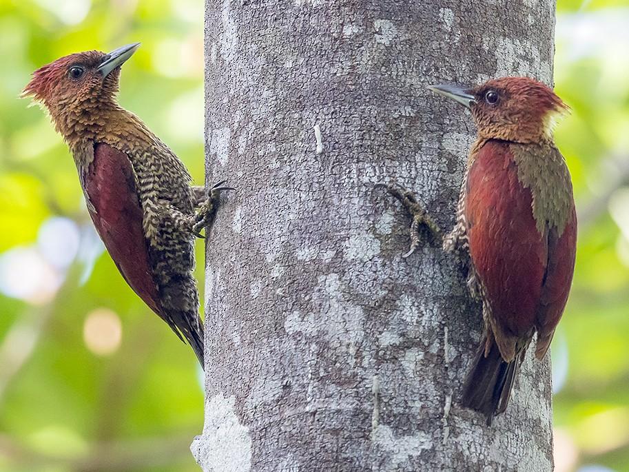 Banded Woodpecker - Matthew Kwan