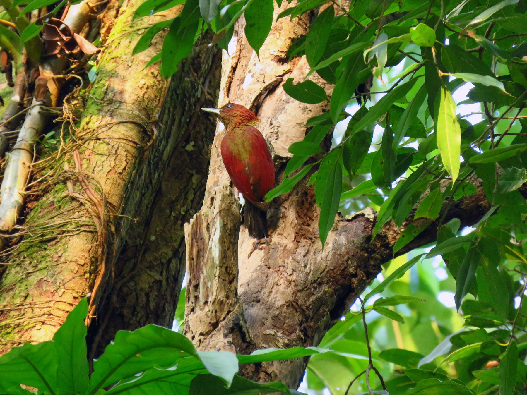 Banded Woodpecker - Angela Christine Chua