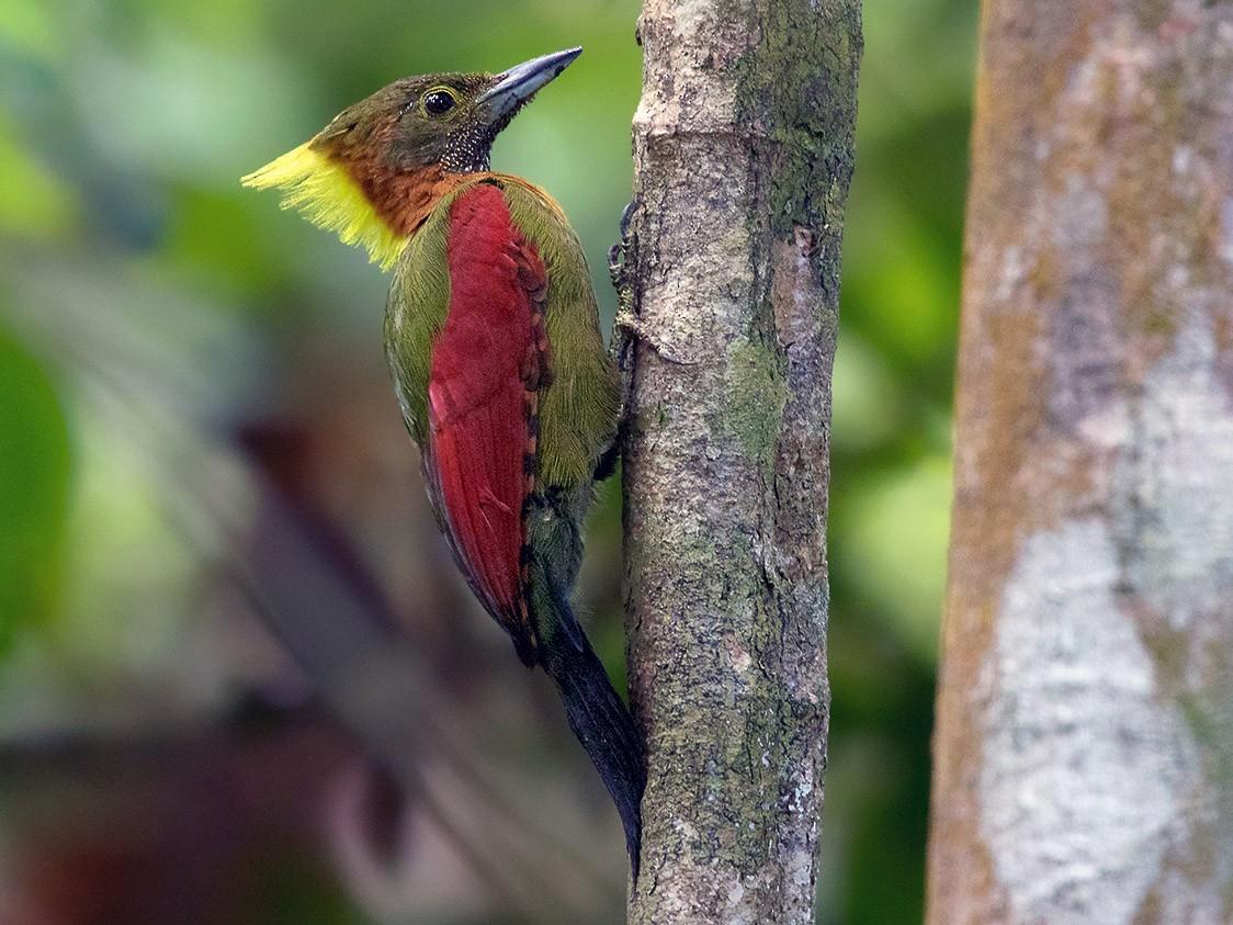 Checker-throated Woodpecker - Ayuwat Jearwattanakanok