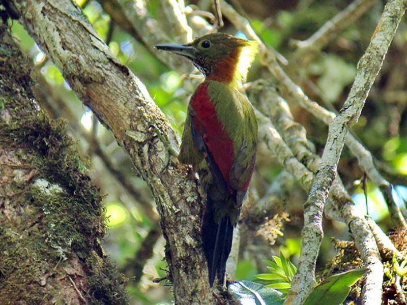 Checker-throated Woodpecker - Stijn De Win