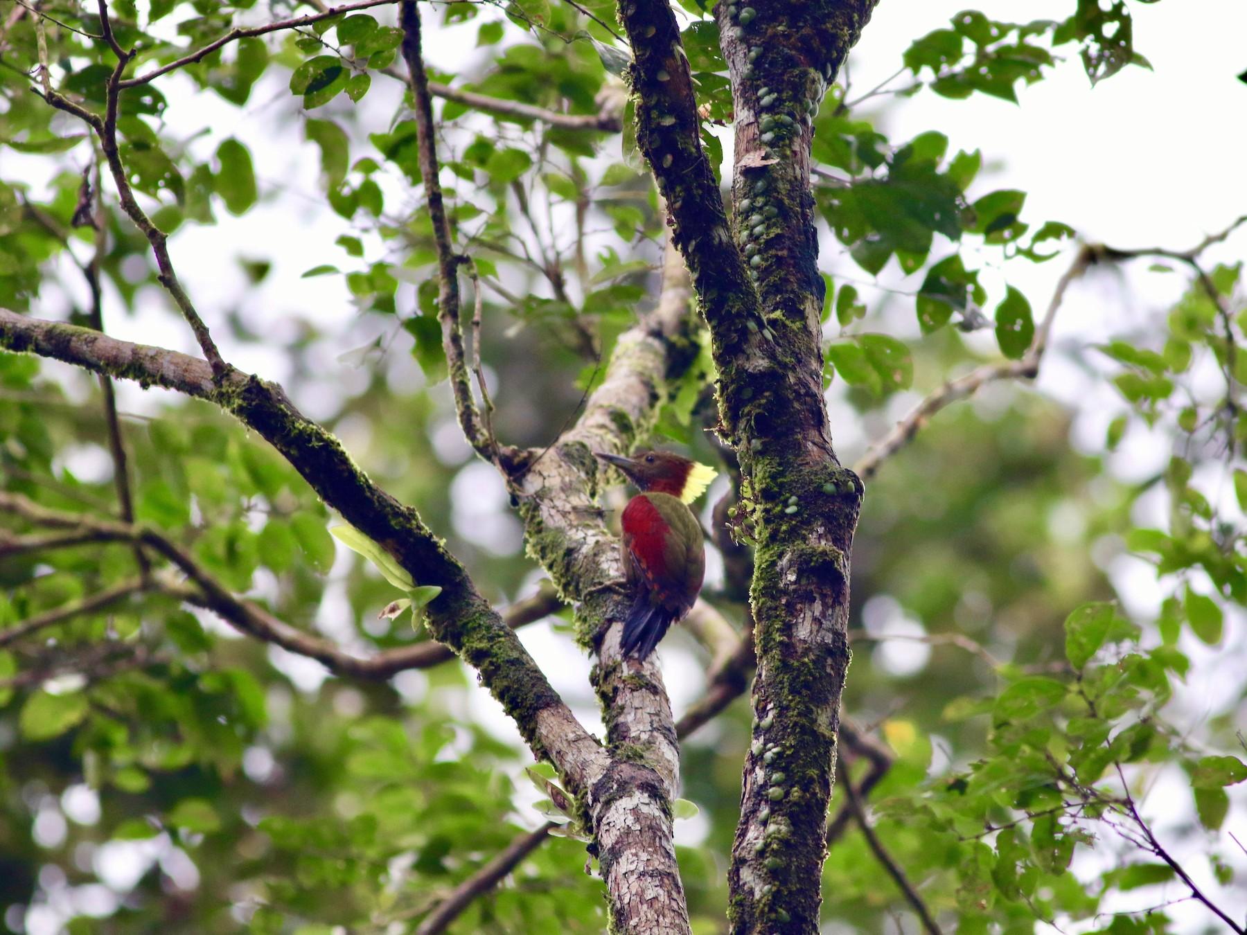 Checker-throated Woodpecker - Edward  Brinkley