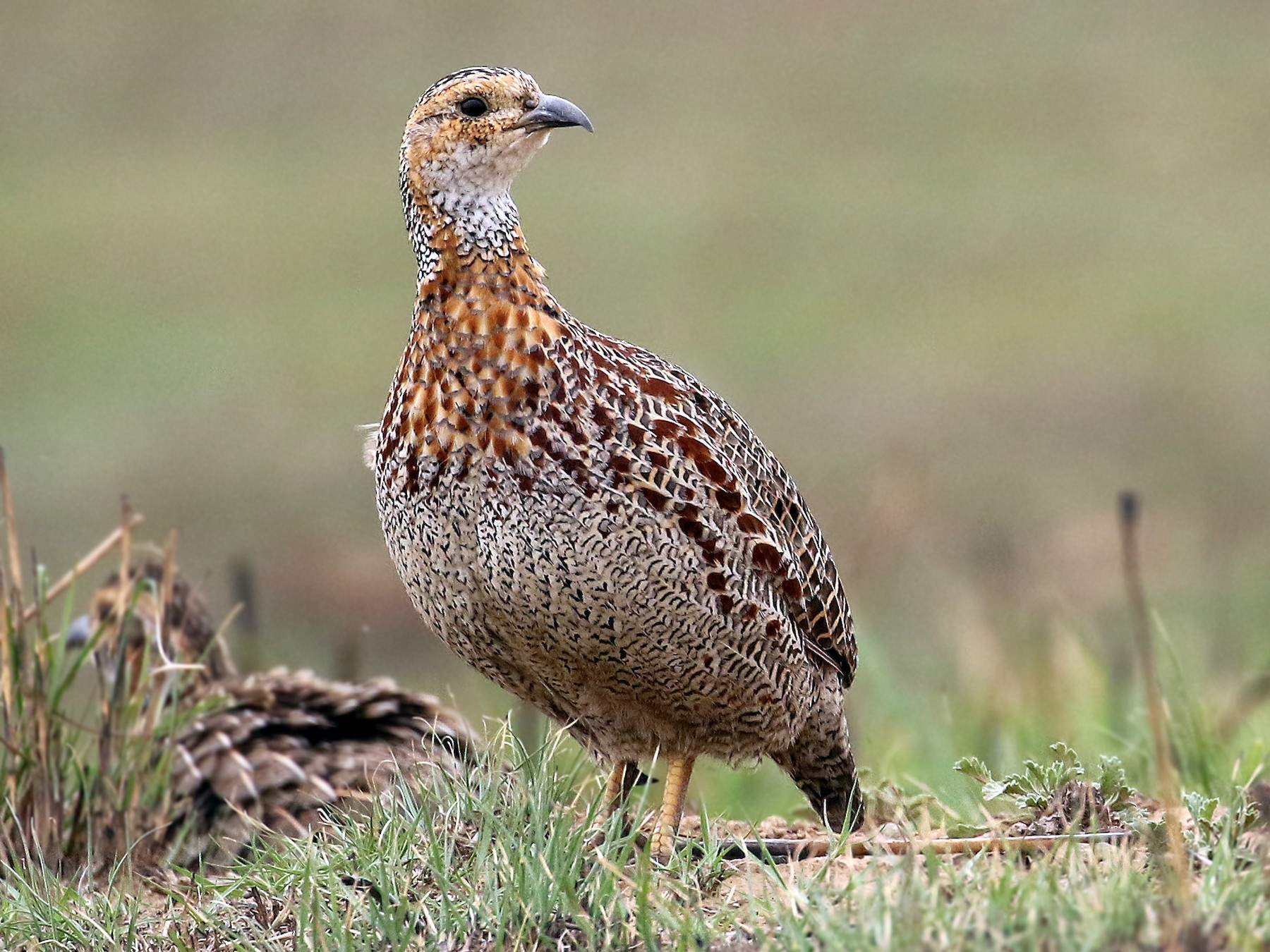 Red-winged Francolin - Andrew Spencer