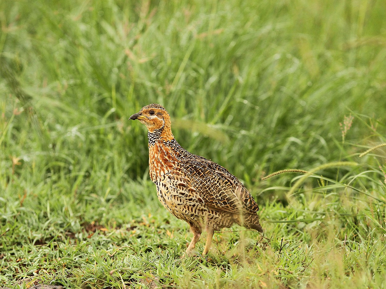 Red-winged Francolin - Daryl Dell