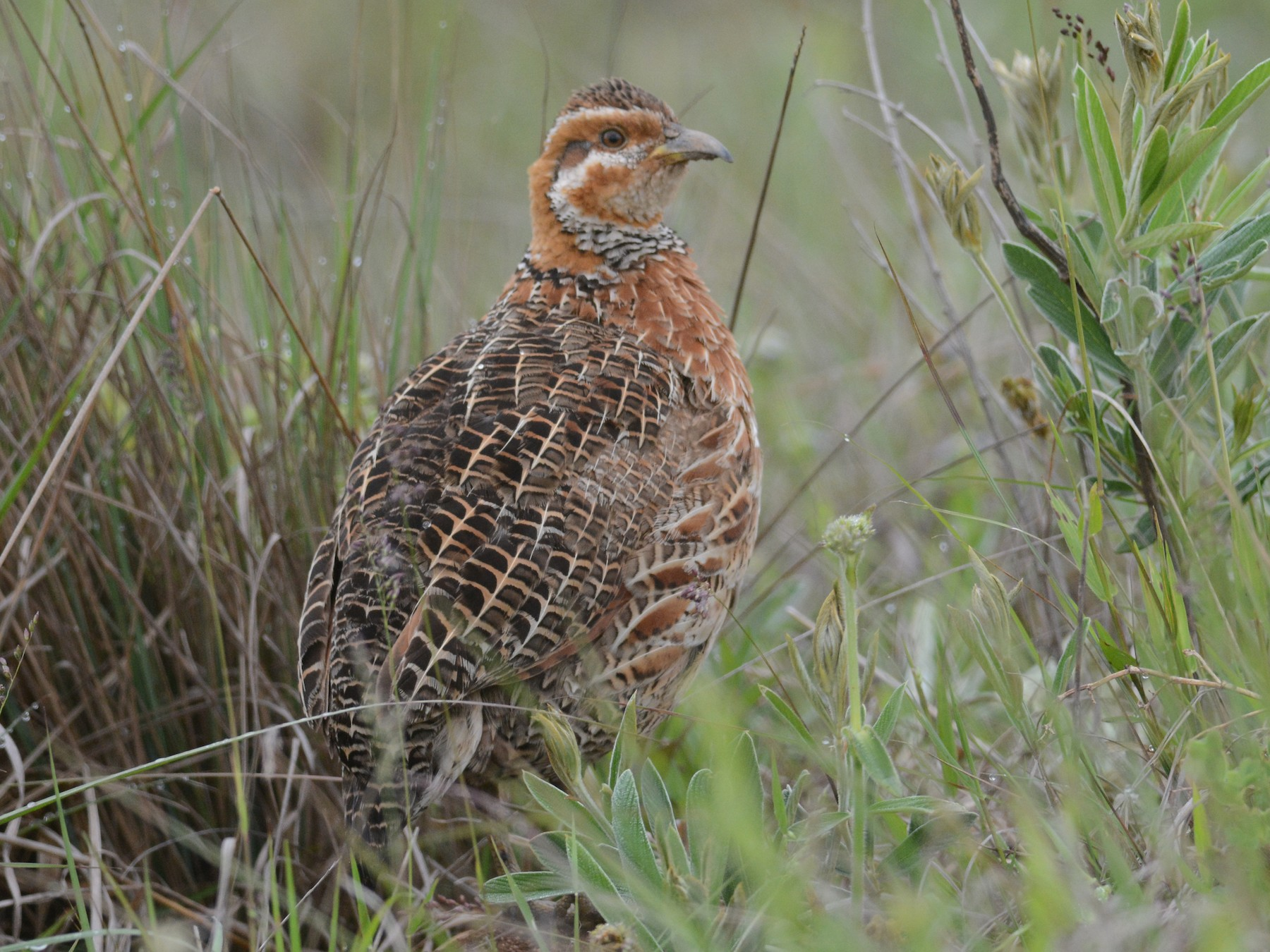 Red-winged Francolin - Mark Van Beirs