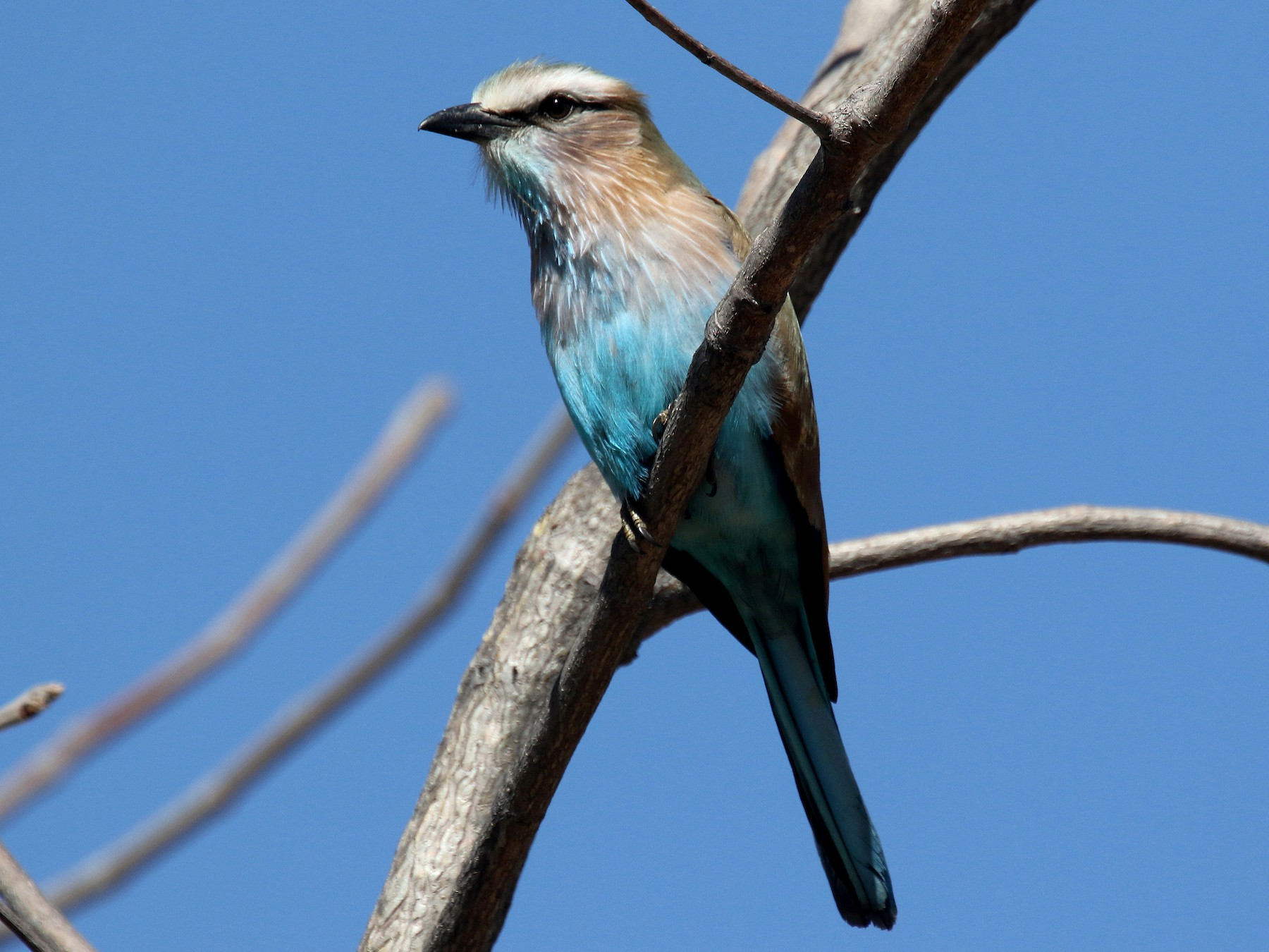 Racket-tailed Roller - Stephen Gast