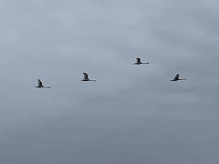 Mute Swan, ML221183191