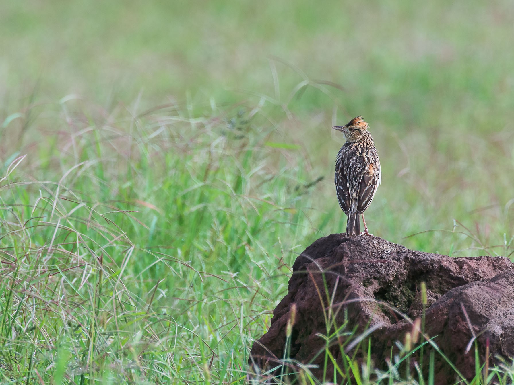 Rufous-naped Lark - George Pagos