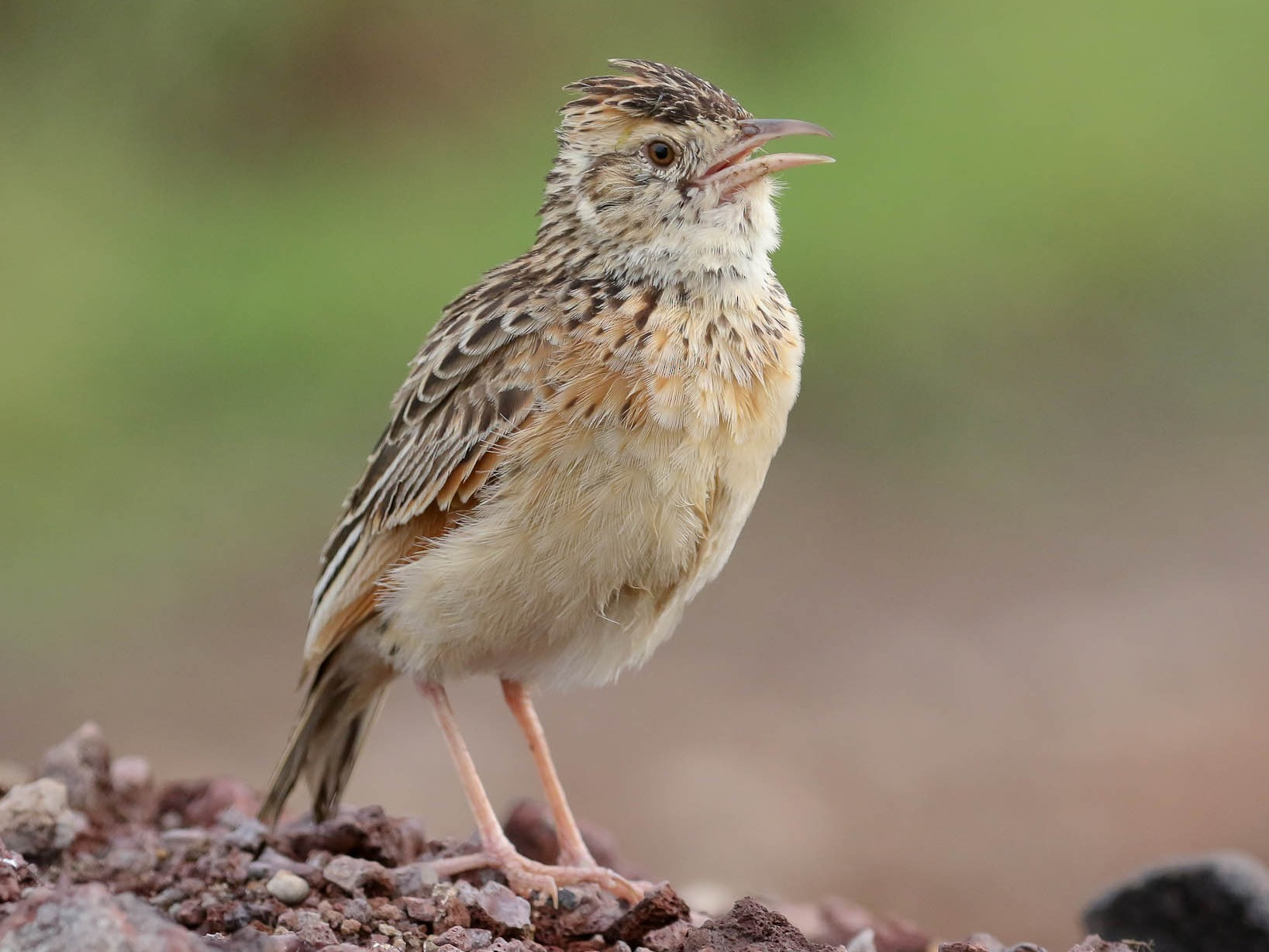 Rufous-naped Lark - Michael O'Brien