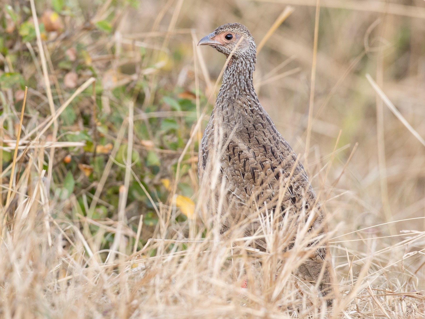 Red-necked Francolin - Ian Davies