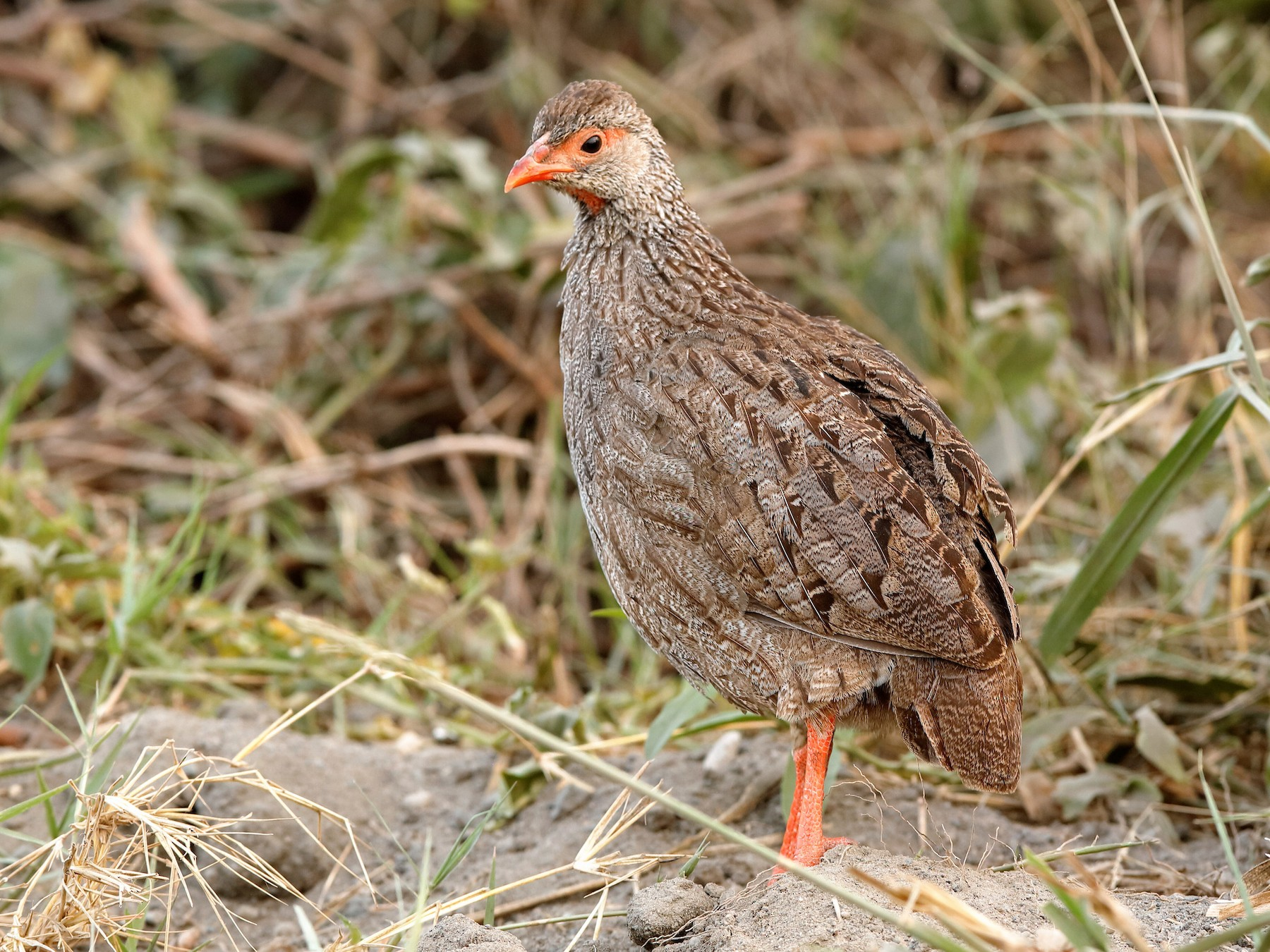 Red-necked Francolin - Holger Teichmann