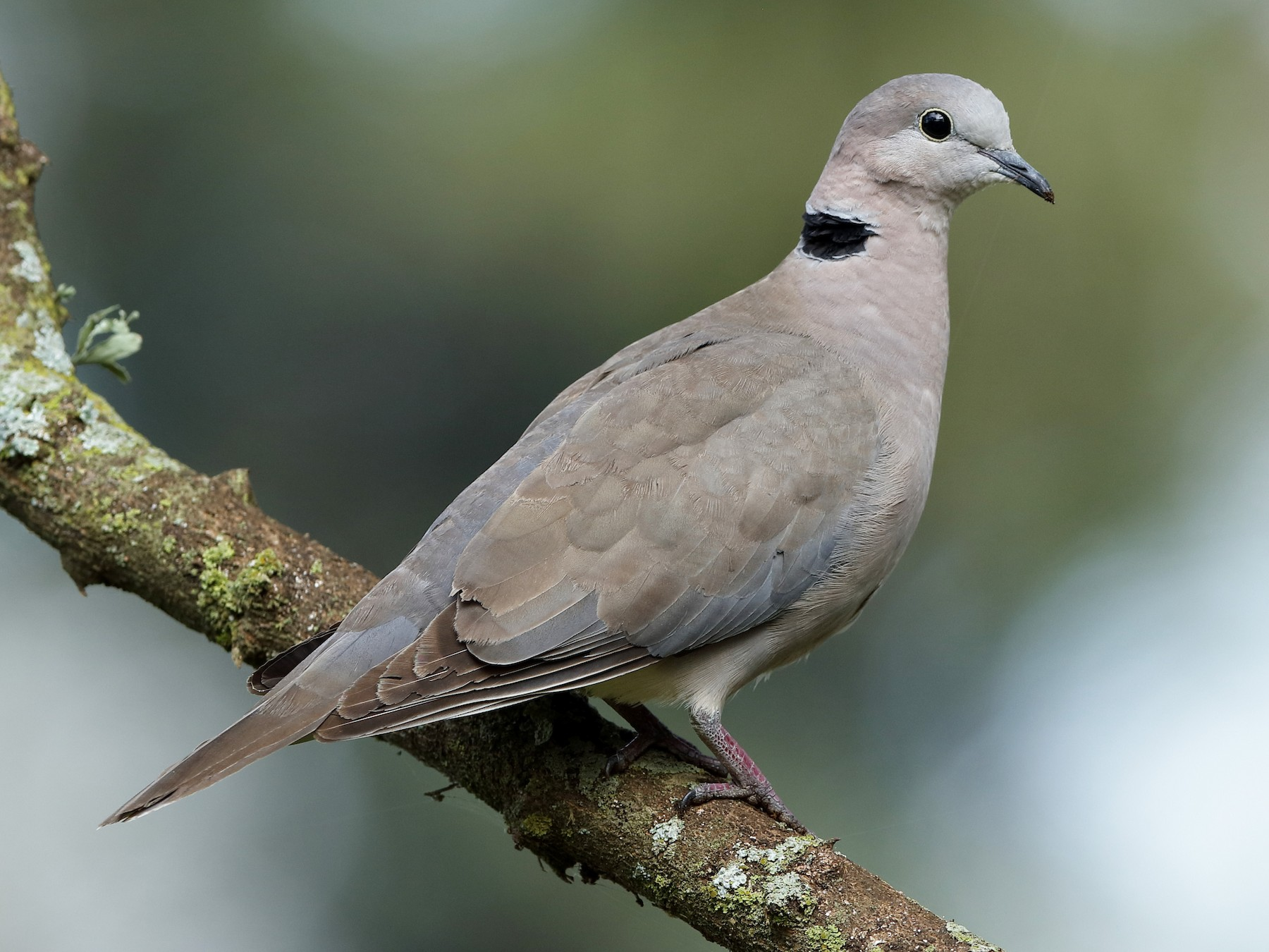 Ring-necked Dove - Holger Teichmann