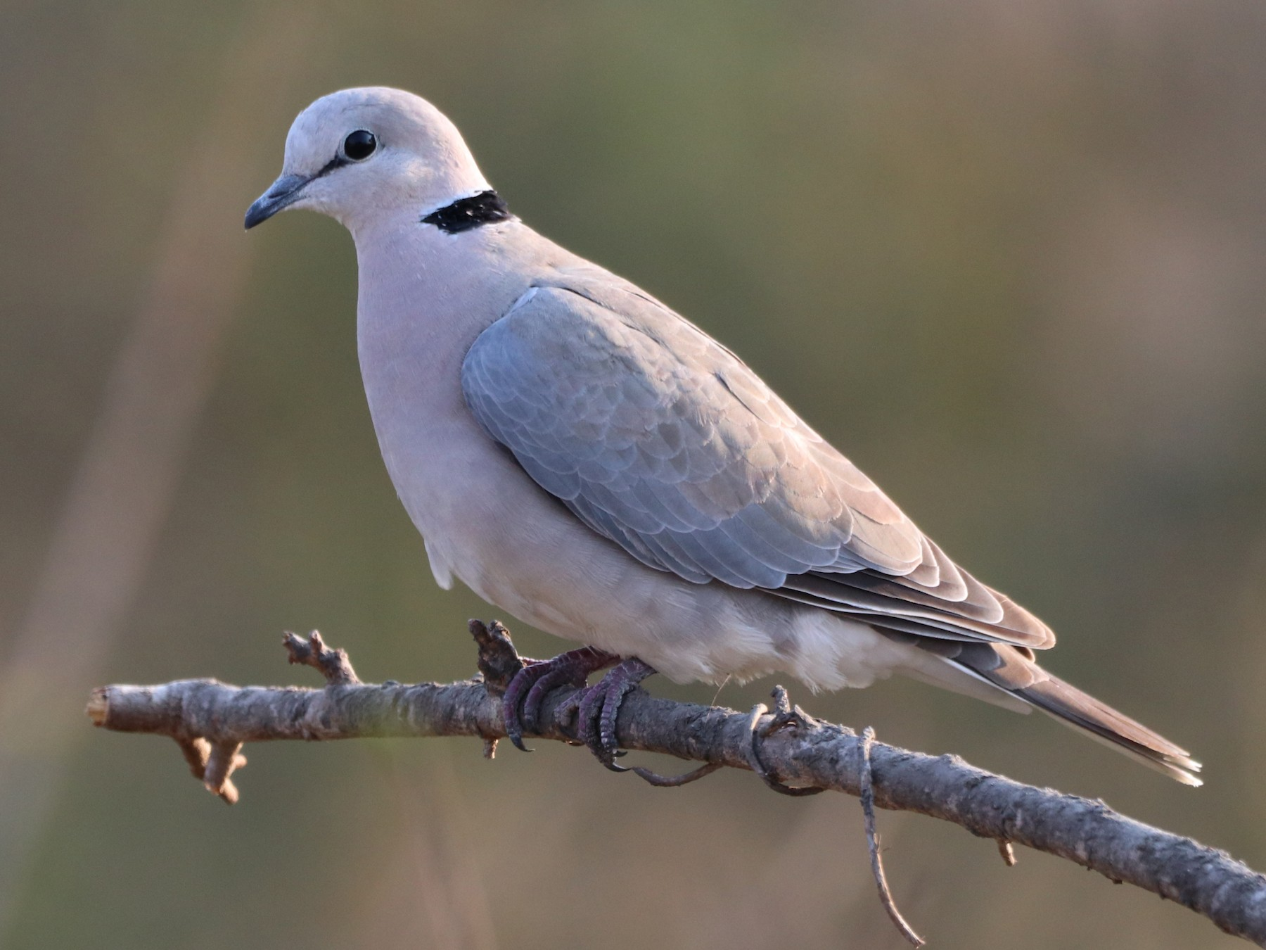 Ring-necked Dove - Bruno Arantes de Andrade Bueno