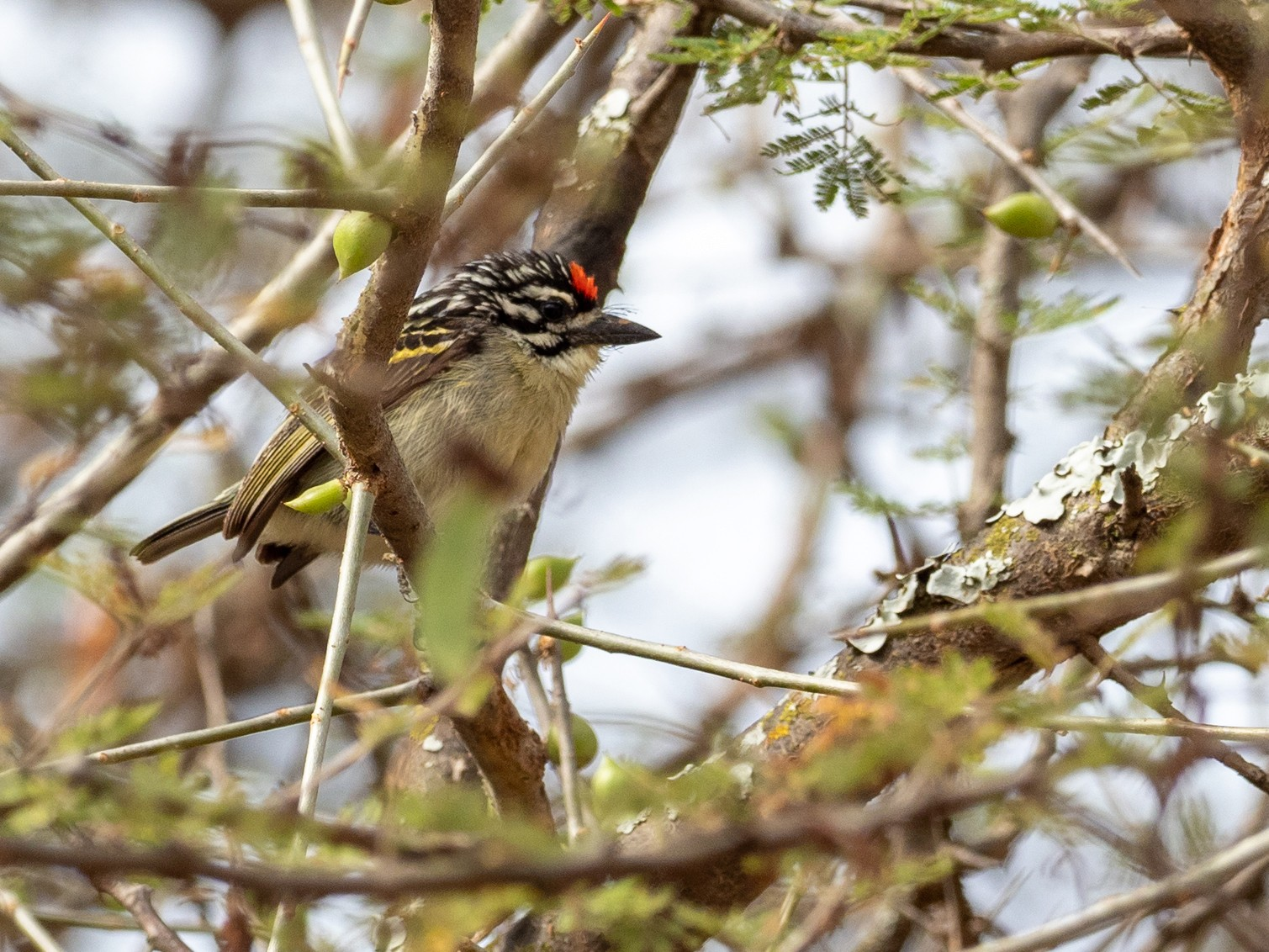 Red-fronted Tinkerbird - Forest Jarvis