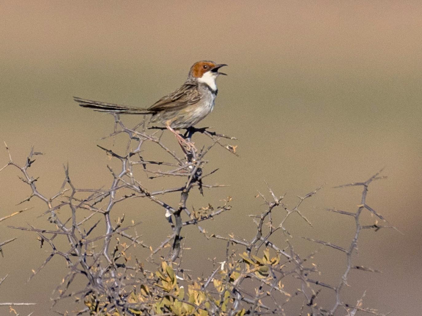 Rufous-eared Warbler - Raphaël Nussbaumer