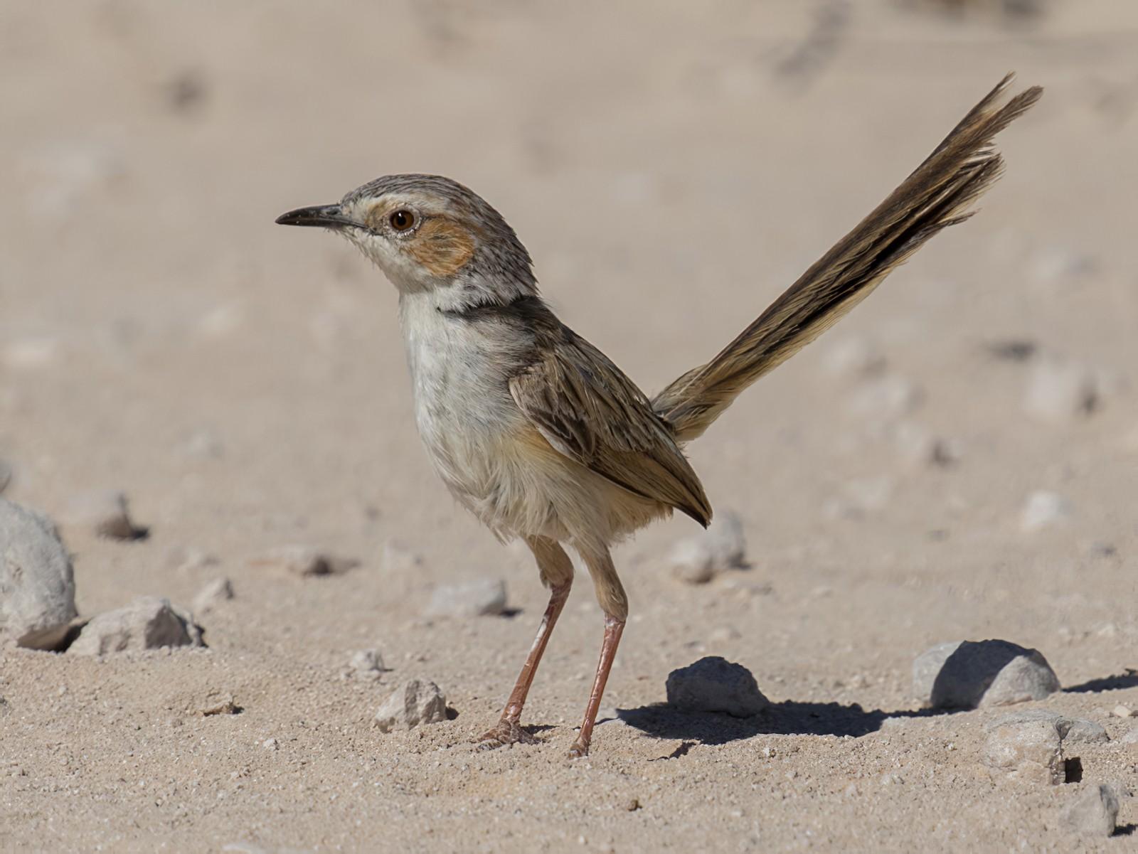 Rufous-eared Warbler - Raphael Lebrun
