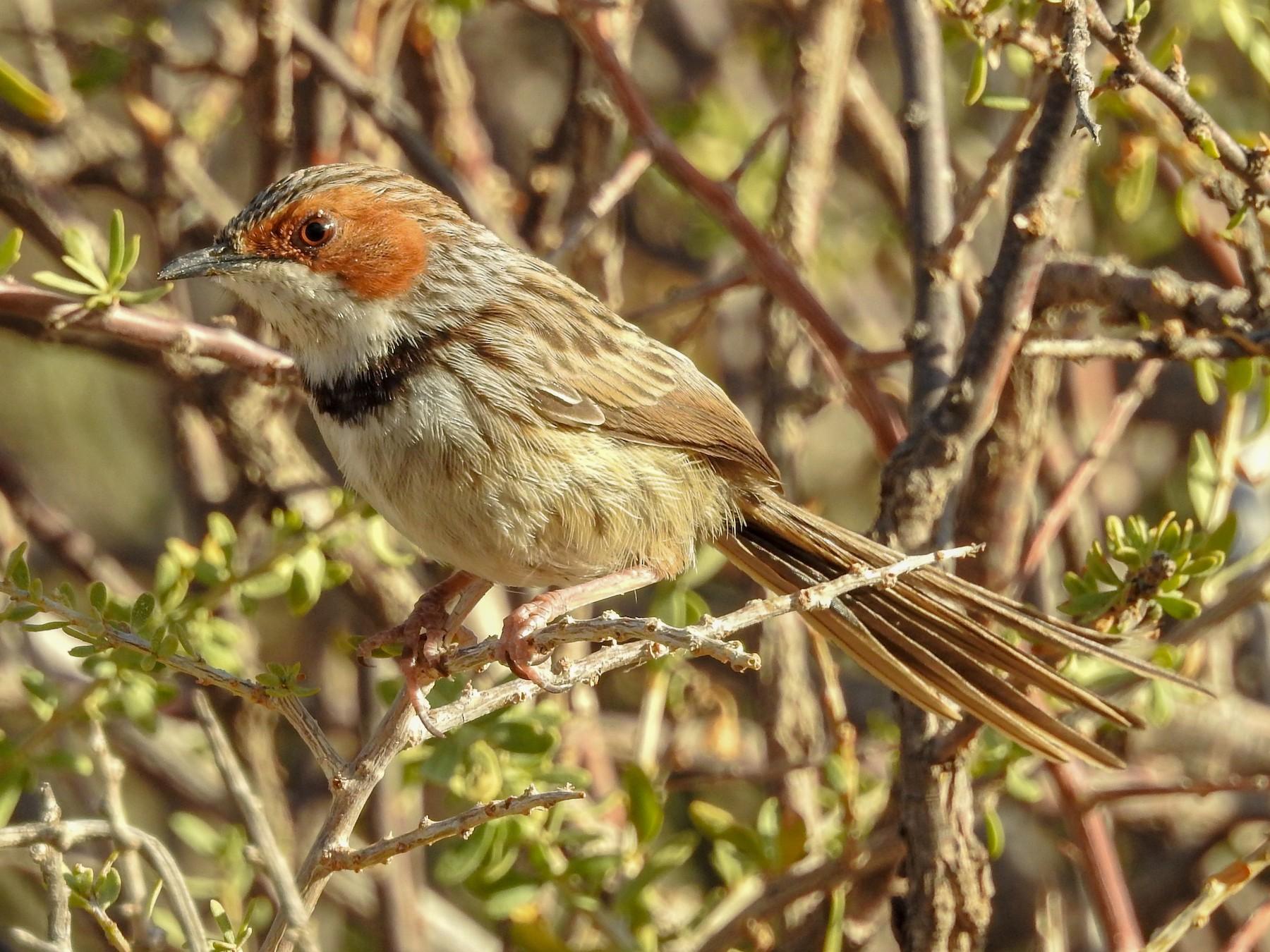 Rufous-eared Warbler - Samuel Burckhardt