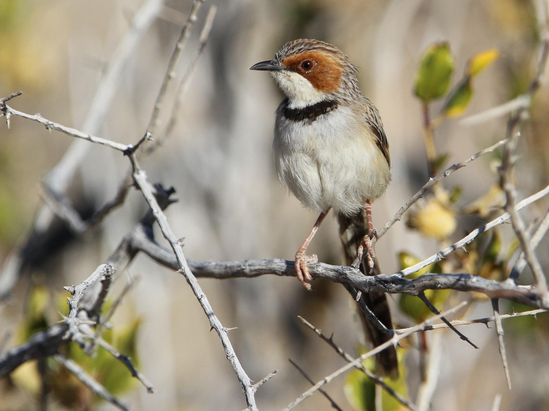Rufous-eared Warbler - Christoph Moning