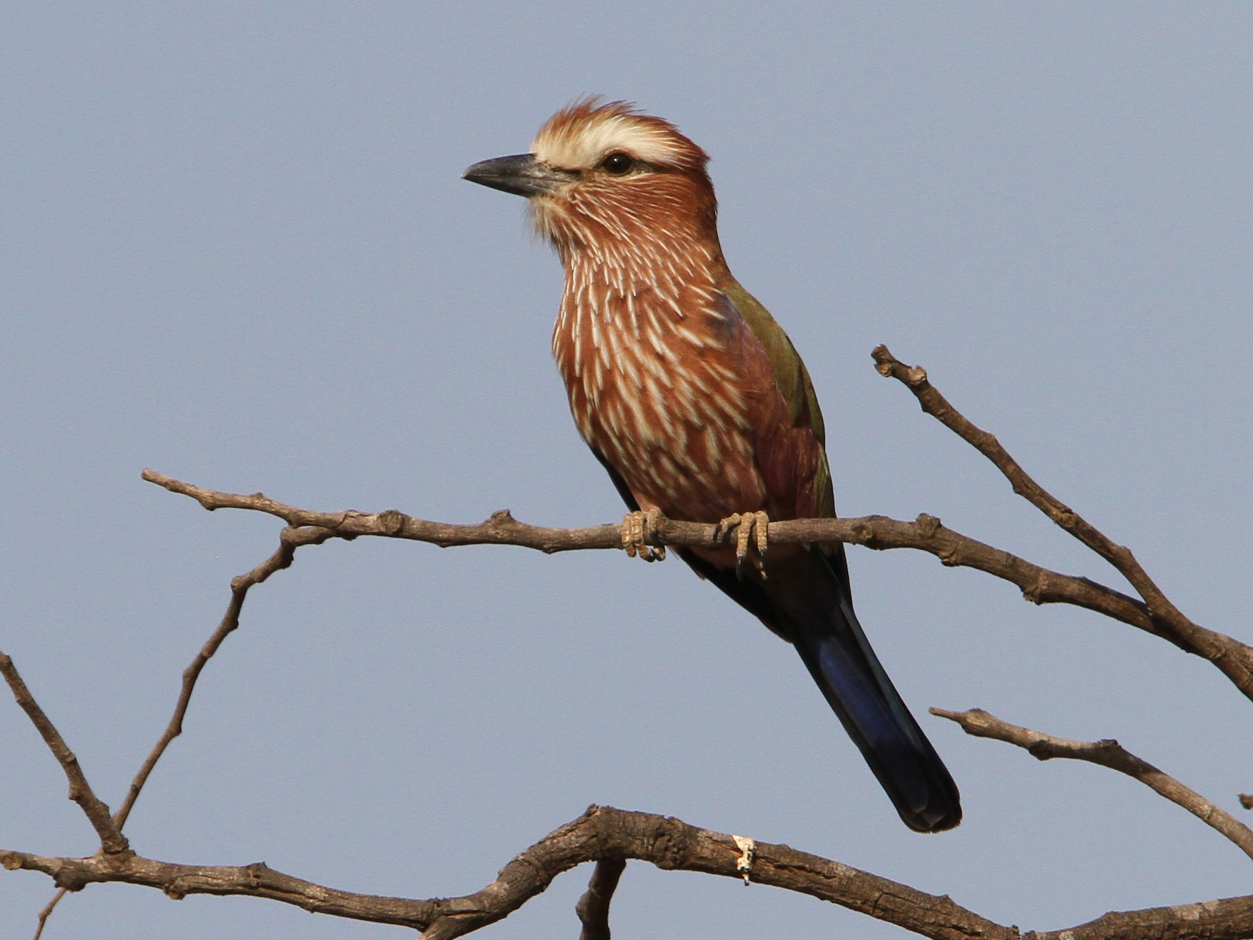 Rufous-crowned Roller - Christoph Moning