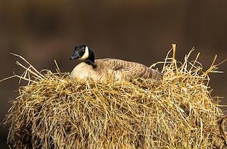 Canada Goose, ML221196621