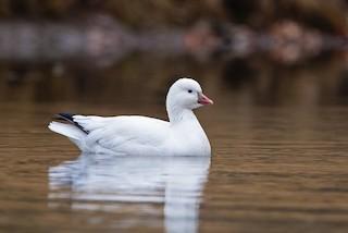 Ross's Goose, ML221208861