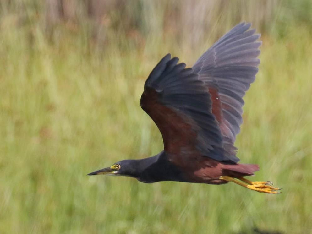 Rufous-bellied Heron - Michael O'Brien