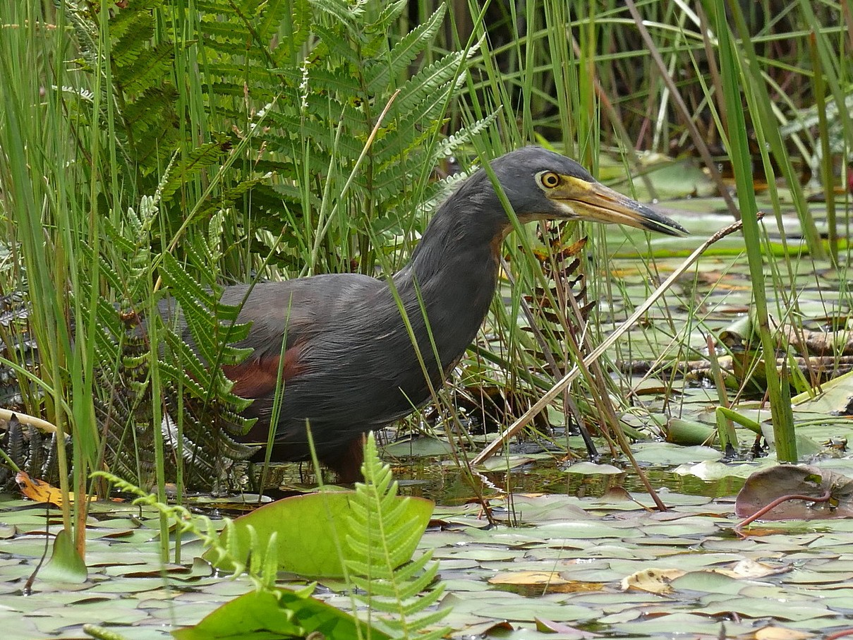 Rufous-bellied Heron - Laval Roy