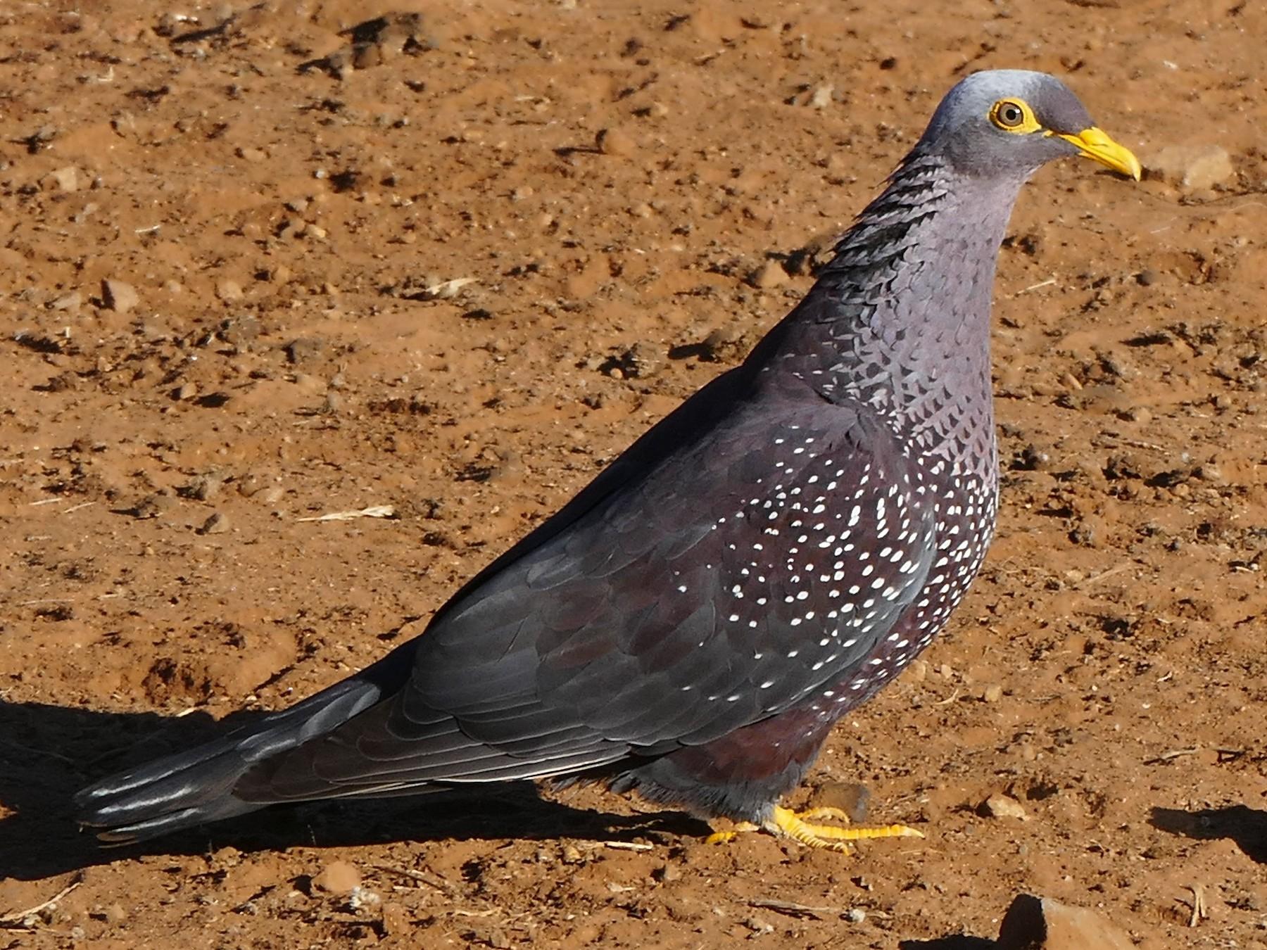 Rameron Pigeon - Andreas Hess