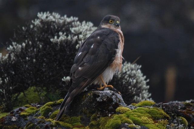 Rufous-breasted Sparrowhawk