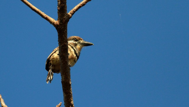 Russet-throated Puffbird (Two-banded)