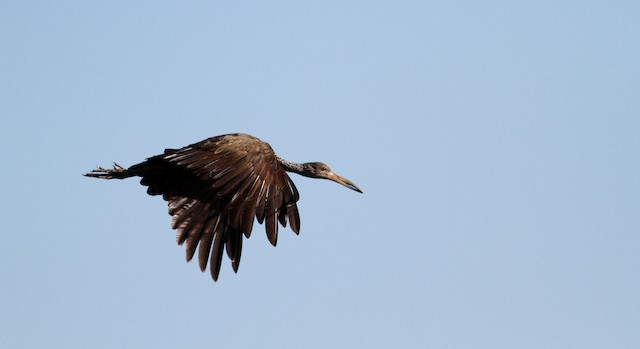 Limpkin (Brown-backed)
