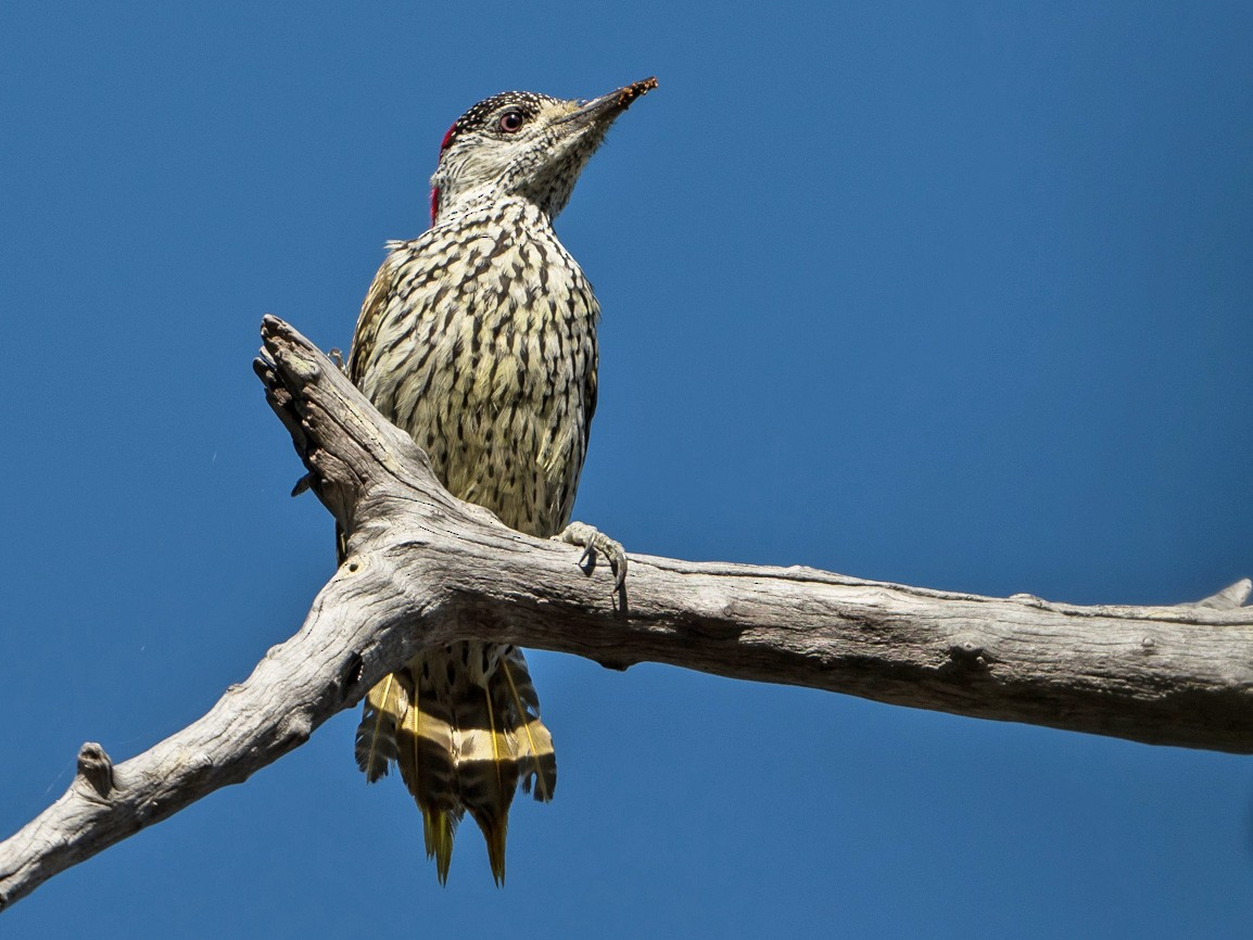Golden-tailed Woodpecker - Joao Quental JQuental