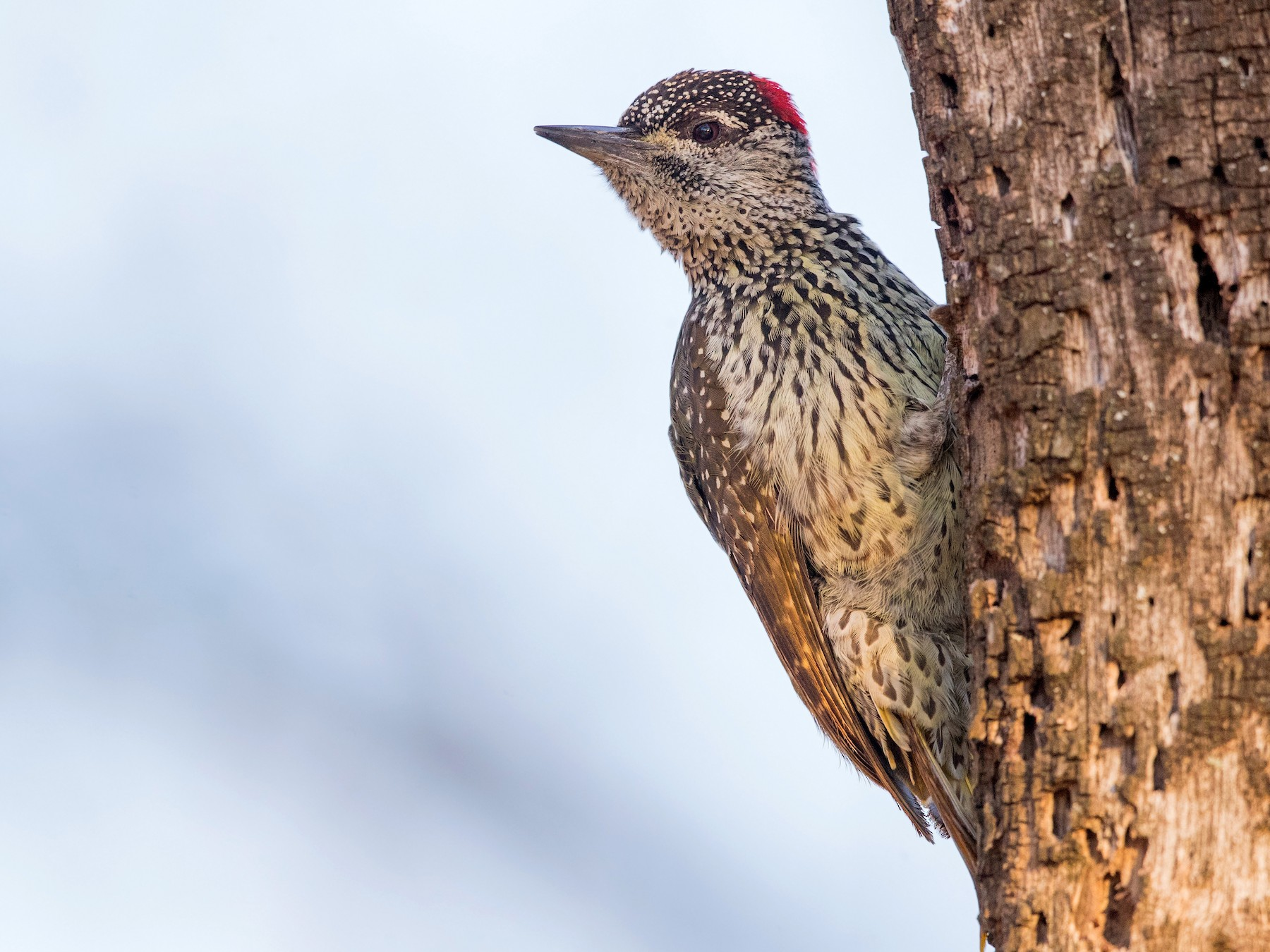 Golden-tailed Woodpecker - David Irving
