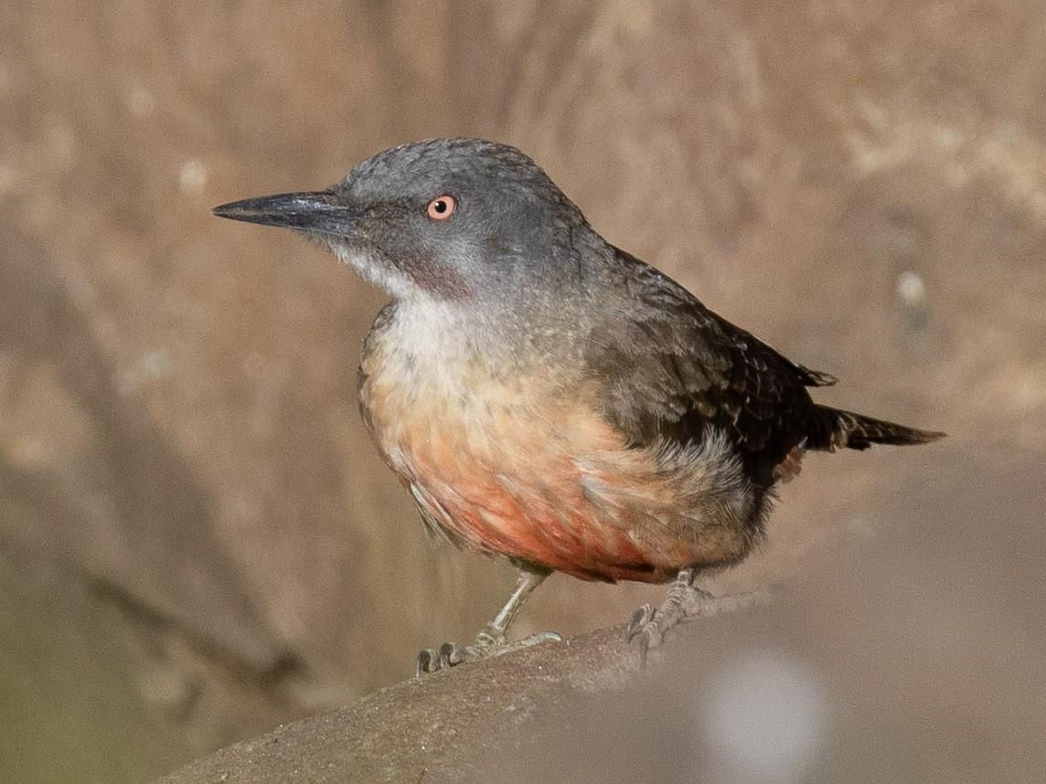 Ground Woodpecker - Josh Engel