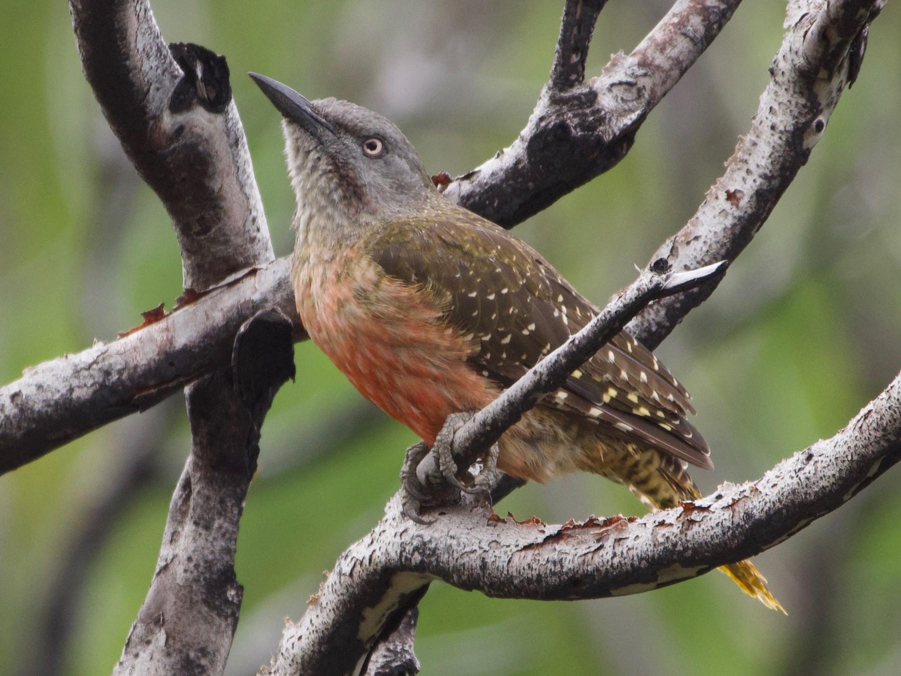 Ground Woodpecker - Will Knowlton
