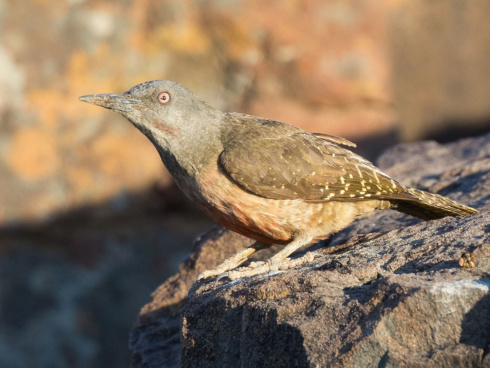 Ground Woodpecker - Keith Barnes