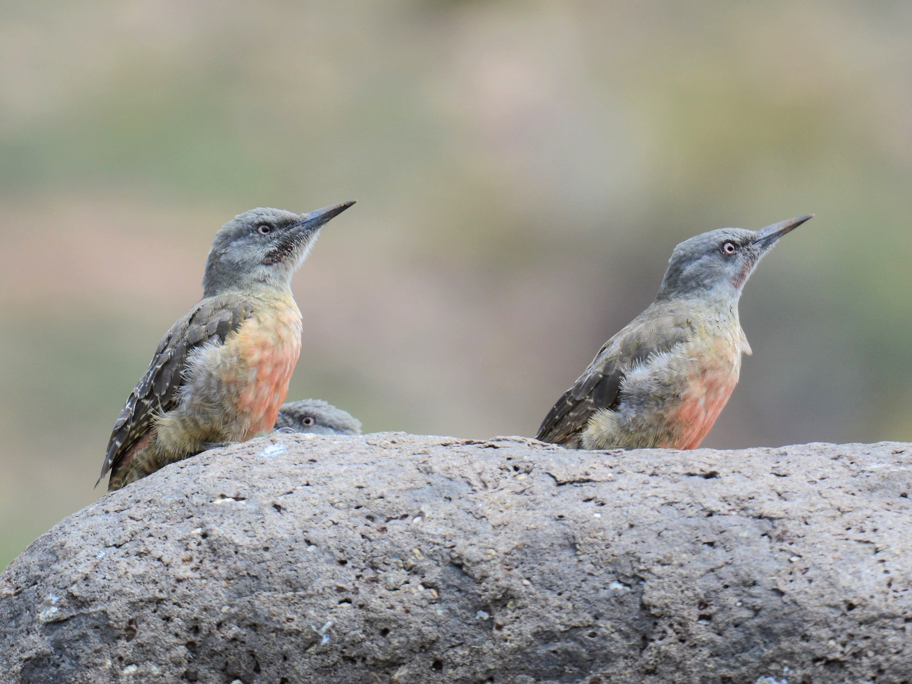 Ground Woodpecker - Gerard Gorman