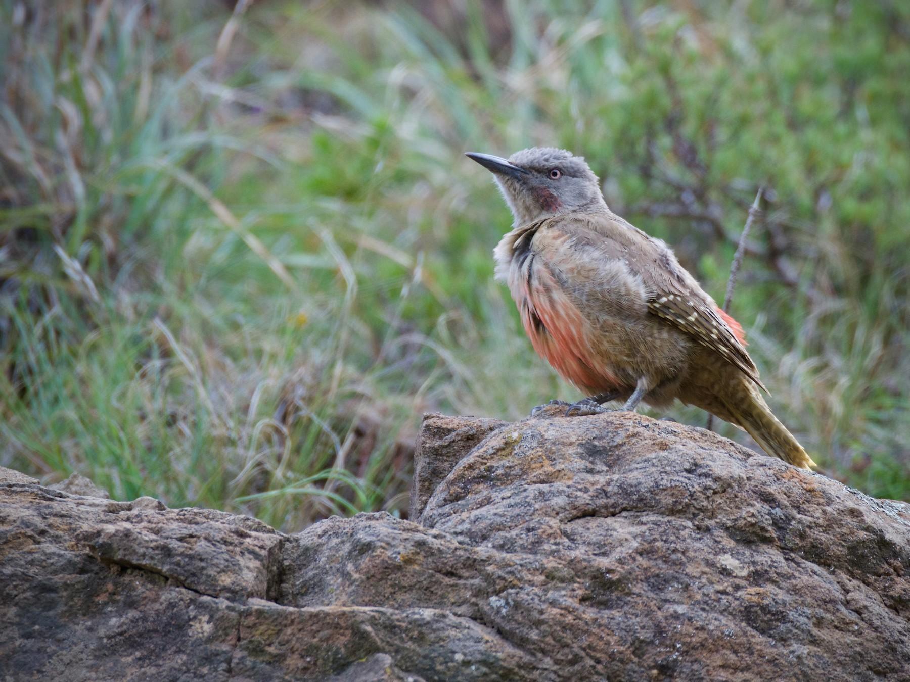 Ground Woodpecker - Jamie Baker