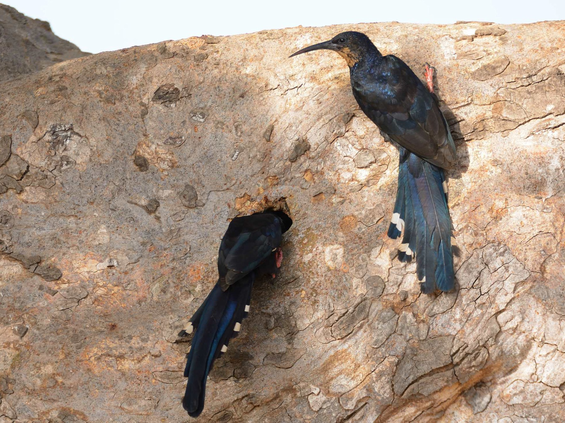 Red-billed Wood Hoopoe - Eric francois Roualet