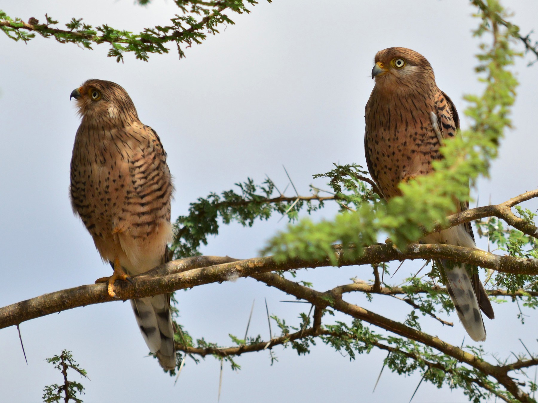 Greater Kestrel - Karthik  Thrikkadeeri