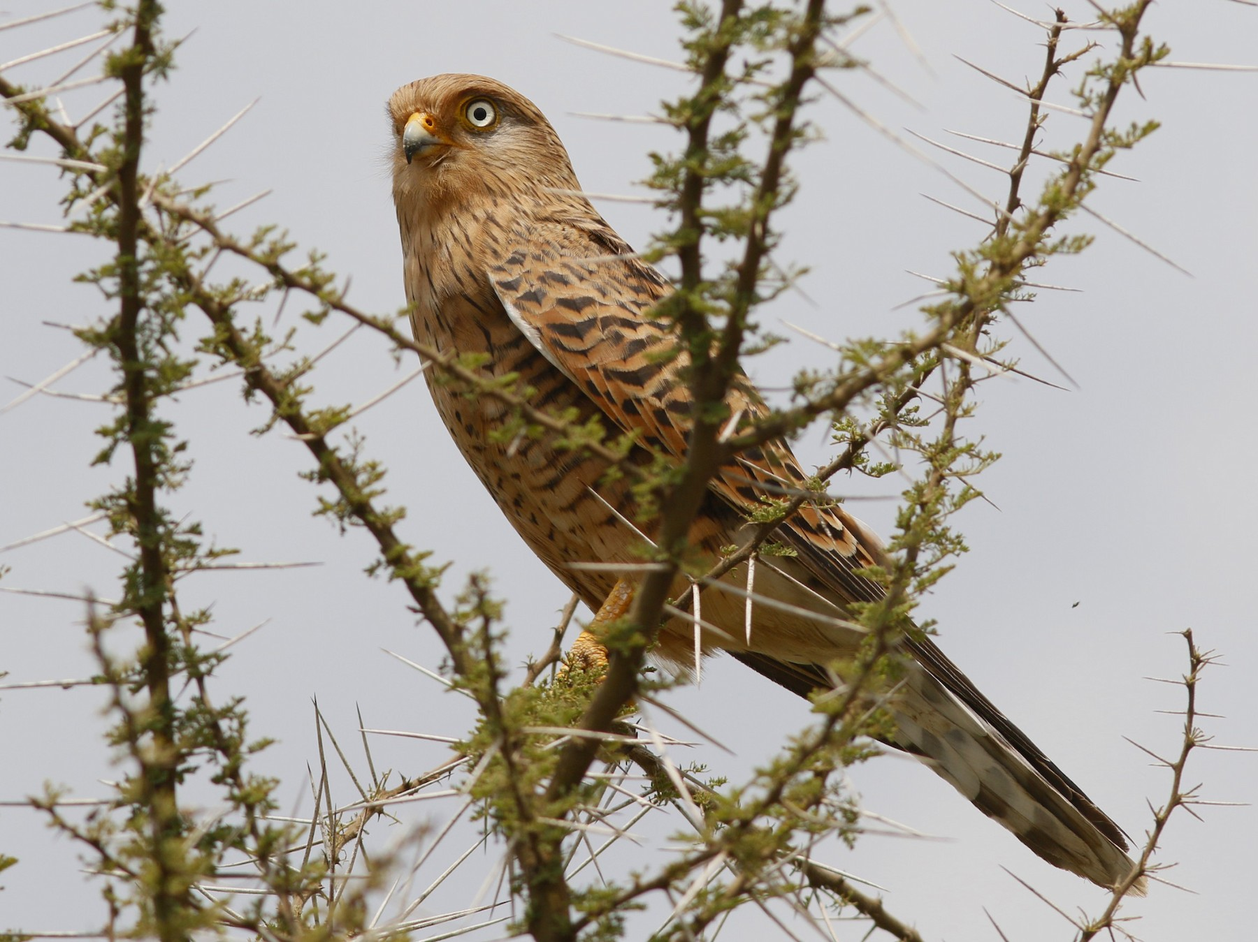 Greater Kestrel - John Sullivan