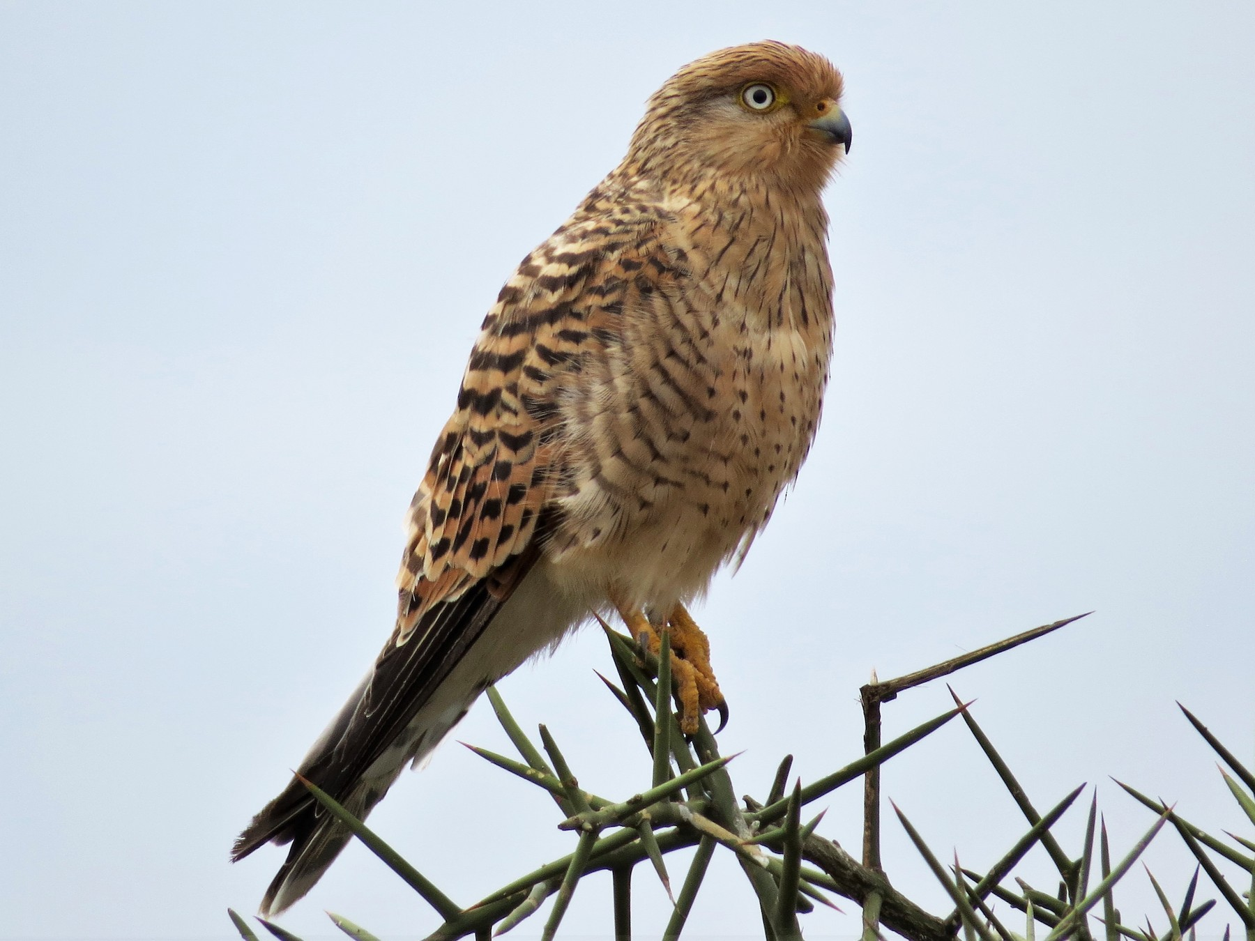 Greater Kestrel - James  Kashangaki